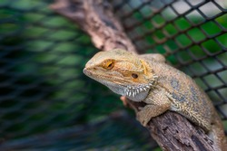 Close up Iguana (also known as Common or American iguana) on blurred  background.Iguana is a genus of herbivorous lizards that are native to tropical areas of Mexico,America,and the Caribbean.