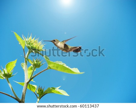 Close up image of a beautiful hummingbird approaching an immature sunflower in the sunshine with copy space.