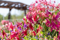 Close-up image of a beautiful spring flowering Aquilegia vulgaris red flower also known as a Columbine or Granny's bonnet