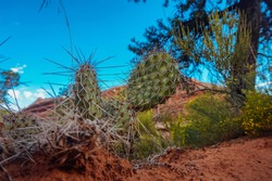 Close up image of a cacti in the desert of Arches National Park in Utah, United States.  Super spiky cacti in focus with nature in the background.