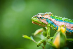 Close up image of a chameleon with vivid colors on a green background