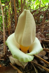 Close up image of a flower from the elephant foot yam or stink lily in bloom