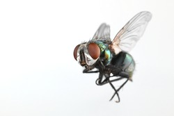 Close-up image of a fly in flight