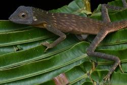 close up image of a Green Crested Lizard - Bronchocela cristatella