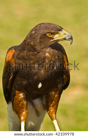 Close up image of a hawk