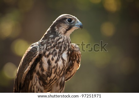 Close up image of a Saker Falcon in the early morning showing beautiful dawn light behind the falcon