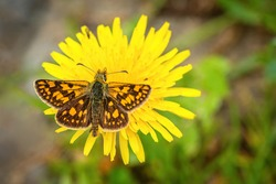 Close up image of a small bright orange and brown butterfly, the chequered skipper, with spread wings sitting on yellow dandelion flower growing on a ground. Blurry green and grey background.
