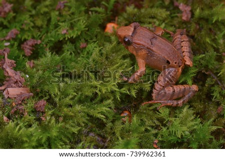 Shutterstock close up image of a Smooth Guardian Frog