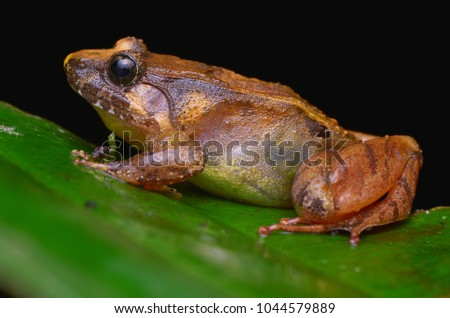 Shutterstock close up image of a Smooth Guardian Frog from Borneo