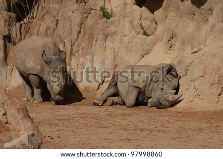 Close-up image of a Southern White Rhinoceros - Ceratotherium simum