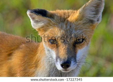 Close up image of a young Red Fox Pup making eye contact with the camera. - stock photo