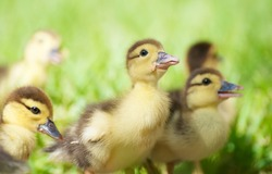 Close up image of an adorable baby duck  surrounded by his other siblings in the grass in the sunshine.