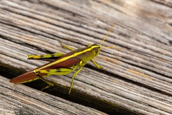 Close up image of an obscure bird grasshopper (Schistocerca obscura) on a wooden bench. This is a green insect with yellow back stripe, striped eyes, short antenna and herring bone shaped tibia