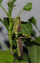 Close up image of an obscure bird grasshopper (Schistocerca obscura) with great detail, on green leaves of hibiscus plant.  This is a green insect with yellow back stripe, striped eyes, short antenna