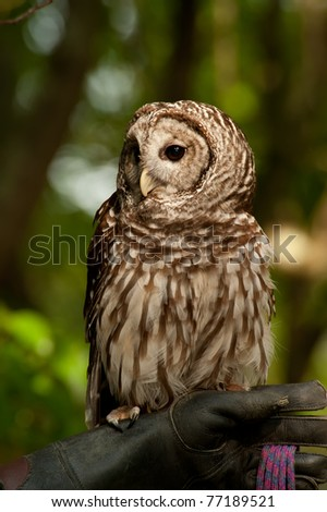 Close up image of Barred Owl (Strix varia) staring and looking for food