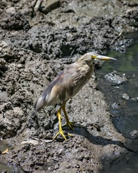 Close-up image of brown Pond Heron(Ardeola) bird near water body. Pond herons are herons, typically 40–50 cm long with an 80–100 cm wingspan.