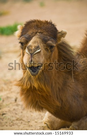 Close-up image of camel