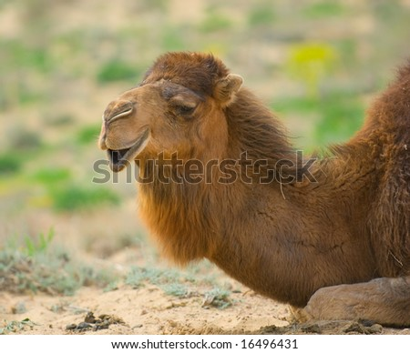 Close-up image of camel