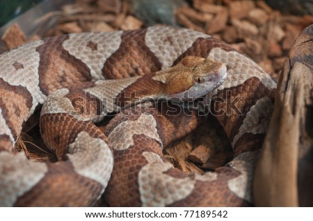 Close up image of Copperhead (Agkistrodon-contortrix) snake coiled and curled up - stock photo