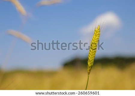 Close-up image of einkorn wheat in the nature. Einkorn wheat is one of the earliest cultivated forms of wheat, alongside emmer wheat in the Pre-Pottery Neolithic.