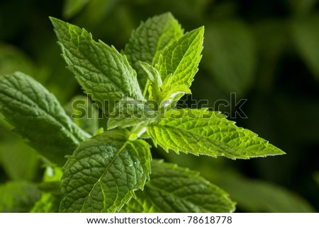 Close up image of fresh mint leaves, selective focus