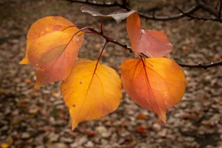 Close-up image of golden apricot leaves in autumn, Otago region, South Island