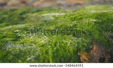 Close up image of moss lichen on the wet rock at the sea shore #548464591