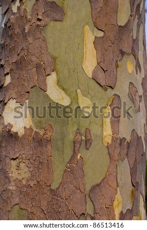 Close up image of mottled sycamore tree bark for background