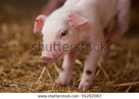 close up image of new born piglet in the hay