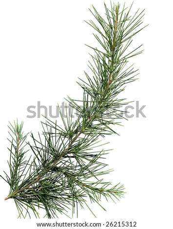Close up image of pine tree branch