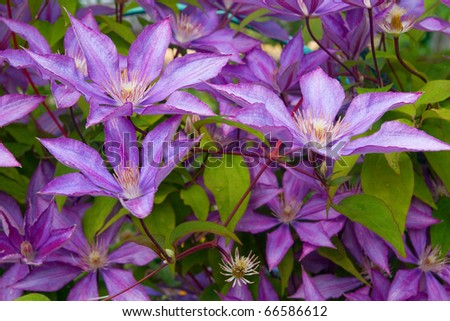 close-up image of purple clematis flower head