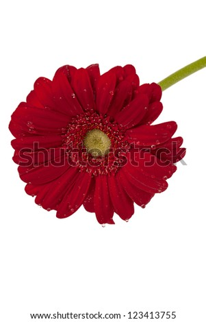 Close up image of red daisy flower against white background