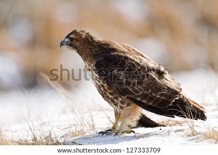 "Close up image of  Red-tailed Hawk (Buteo jamaicensis). The Red-tailed Hawk is a bird of prey, colloquially known in the USA as the ""chickenhawk,"" though it rarely preys on chickens."