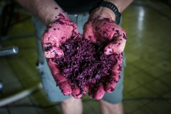 Close up image of red wine mash in the hands of a wine maker on a wine farm in south africa