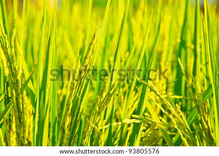 close up image of Rice fields