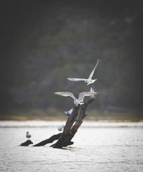 Close up image of terns in an estuary in south africa