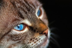 Close up image of the cat with blue eyes against a dark background and soft focus effect.