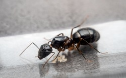 Close-up image of the queen Carpenter Ant (Camponotus Sp.) to prevent eggs in test tube