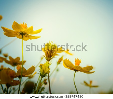 Close up in cosmos flower at sunrise. Vigtage style.