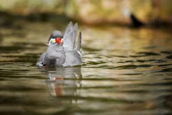 Close up Inca tern, Larosterna inca, dark grey sea bird with the white moustache and red beak, native to Peru and Chile. Bird swim in the water, low angle photography.