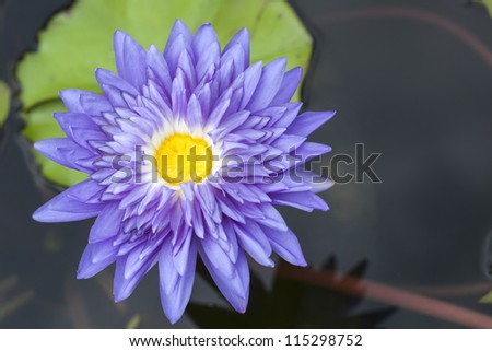 Close-up inside of beautiful violet lotus, Thailand.