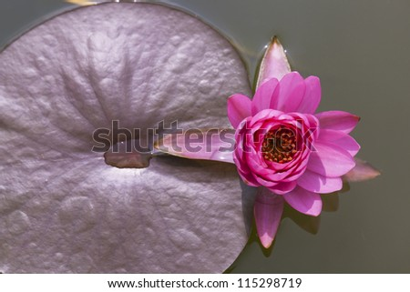 Close-up inside of beautiful White lotus, Thailand.
