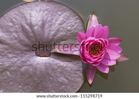 Close-up inside of beautiful White lotus, Thailand.