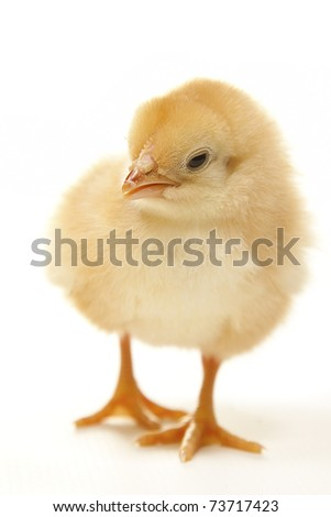 close up isolated easter chicken