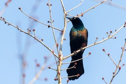 Close up isolated image of an adult male Common grackle (Quiscalus quiscula) perching on a tree branch against blue sky. This bird has black feather with vibrant glossy colors.