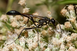 Close up isolated macro image of a black common thread bellied wasp (Ammophila procera) sucking nectar from a white common boneset flower. This is a wasp native to North America