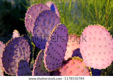 Close up isolated photo of purple prickly pear cactus green desert scrub in the Tucson Arizona Sonoran desert