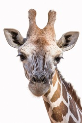 Close-up isolated portrait of the Angolan (Namibian) giraffe Giraffa angolensis lives in forest, savanna and shrubland in Africa (Namibia, Zambia, Botswana and Zimbabwe).