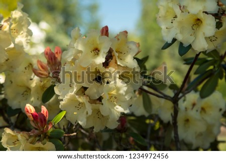 Close Up Isolated View of Pale Yellow Blooming Rhododendron  Flowering Bush with Green Leaves, Selective Focus, Shallow Depth of Field Background, Spring, Daytime