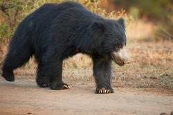 Close up, isolated, wild sloth bear, Melursus ursinus, crossing the road in Ranthambore national park, India. Insect eating bear with long claws walking along the camera, wildlife photography.